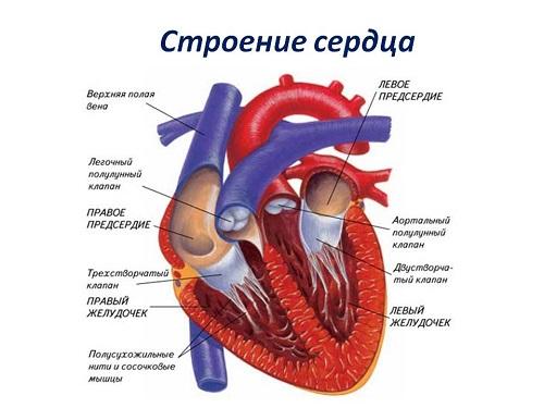 Строение сердца изобраение